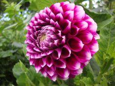 """Dahlia """"Sharky"""" Dahlias, Flower Power, Floral Arrangements, Play, Rose, Flowers, Design, Pink, Flower Arrangement"""