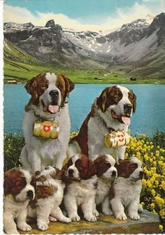 Vintage Postcard Saint Bernard Dogs and Puppies Alps Continental Dog Card | eBay