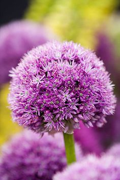 Would like to get bulbs for my planter later this year - Allium 'purple giant' Exotic Flowers, Love Flowers, Colorful Flowers, Purple Flowers, Wild Flowers, Beautiful Flowers, Gnome Garden, Garden Planters, Lawn And Garden