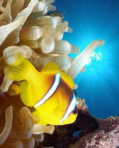 Red sea anemonefish and sunburst, via Flickr.