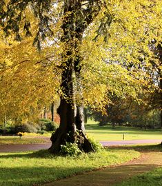 Loving the Autumn yellows highlighted by sunshine around Dean, Sunshine, Sidewalk, Autumn, Yellow, Plants, Fall Season, Side Walkway, Nikko
