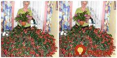 Vianočný kaktus je veľmi obľúbená rastlina a to práve preto, že je nenáročná, pekná a preto, že na rozdiel od iných rastliniek sa do plnej krásy prebúdza vtedy, keď iné rastliny spia -v období Vianoc.