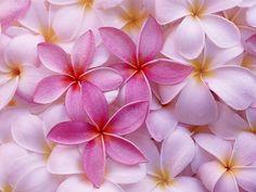 Tropical Plumeria - http://imashon.com/w/tropical-plumeria.html