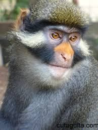 Guenon is the name for the group of medium sized monkeys that have long back legs, a rounded head and a long tail. Very fast and active.