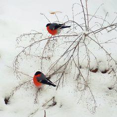 Russian snowbirds
