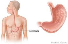 Stomach-The stomach is a muscular organ located on the left side of the upper abdomen. The stomach receives food from the esophagus. As food reaches the end of the esophagus, it enters the stomach through a muscular valve called the lower esophageal sphincter.    The stomach secretes acid and enzymes that digest food. Ridges of muscle tissue called rugae line the stomach.The stomach muscles contract periodically, churning food to enhance digestion. #stomach #rugae #digestion