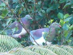 Kereru, NZ native bush pigeons, love to feed on our young hibiscus leaves, true, they strip them bare. I can't send them flying as I love watching these 747s of the sky.