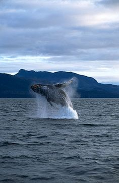Whales (photo by Thomas Mangelsen)