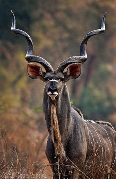 Greater Kudu - photo and comment by Etinne Oosthuizen. Often called Africa's grey ghost, the Greater Kudu is remarkable in its abilities to disappear, they are able to filter back into the surround bush and thickets, as silently as they appeared[…] Nature Animals, Animals And Pets, Cute Animals, Wild Animals, Crazy Animals, Jungle Animals, Animals With Horns, Beautiful Creatures, Animals Beautiful