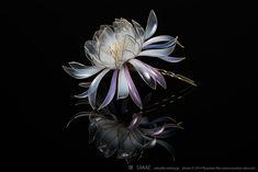 個人的な意見で恐縮ですが、榮さんが咲かせる花の中でも、桜とこの月下美人は特別な花という気がします。この美しいフォルムには夏の夜、一夜限りに咲く幻の花そのものの儚さが漂います。 Photo by Ryoukan Abe (www.ryoukan-abe.com)