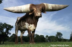 The Ankole-Watusi is a breed of cattle originally native to Africa. Its large, distinctive horns, that can reach up to 8 feet from tip to tip, are used for defense.