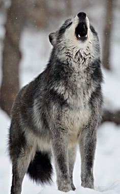 wolveswolves: Wolf at Wild Spirit Wolf Sanctuary bydfbphotos
