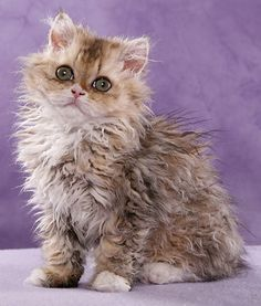 Man-Made, Curly-Haired Selkirk Rex Cats Called 'Adorable Abomination?  I don't see why, My Ohlos' hair is like this and I think it gives her character!!!!