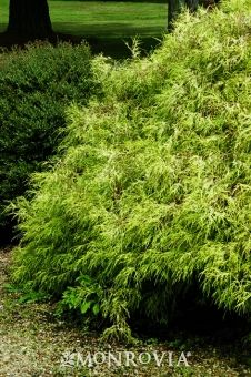 Golden Mop Threadleaf False Cypress