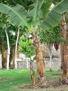 115 Best Banana Trees Images On Pinterest Exotic Fruit