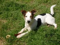 Toby is an adoptable Jack Russell Terrier (Parson Russell Terrier) Dog in Harrah, OK.  My name is Toby, probably a Terrier/Corgi mix. about 25-30 lbs and 2 years old. I came from a shelter as a stray ...
