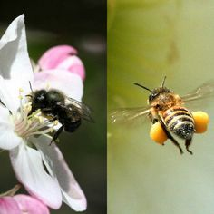 In a side by side comparison, mason bees pollinated almost 100 flowers to the… I Love Bees, Birds And The Bees, Bees For Sale, Humble Bee, Bug Hotel, Mason Bees, Bee Farm, Yellow Jackets