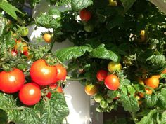 Simplify traditional gardening by using the Tower Garden to grow your tomatoes and other fresh fruit and veggies!