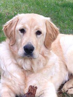 Golden Pyrenees Dog :) Great Pyrenees/Golden Retriever mix ...