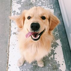 Is this a happy Golden Retriever puppy or what?