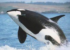 kardszárnyú delfin - Google keresés