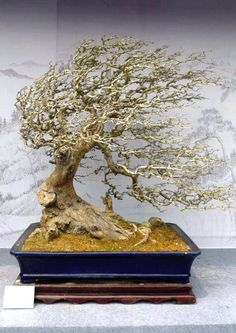 Bonsai - looks as though it's lived in our garden!