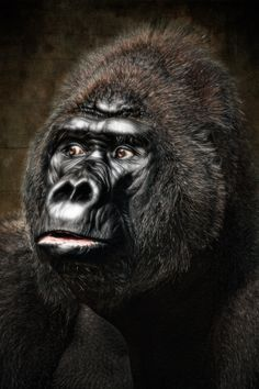 Massa the Silverback - born 1971 in Cameroon, now living in Krefeld Zoo