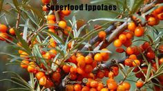 Superfood Ippofaes: The Ancient Superfood | via @learninghistory