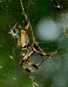 Spider Information , Brown Recluse , Hobo, And Black Widows: How To Get Spiders Out Of Your House