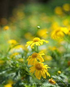 Yellow Daisy photo wildflower meadow prairie 8x10 by AngsanaSeeds