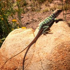 A collared lizard (Crotaphytus collaris) sunning in the Painted Desert. ••• Photo art, paintbrush effects.
