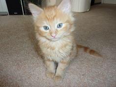 Simba.. cat kitten animal pet