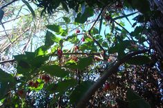 árvore dos tamarilhos