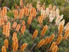 Photo 'IMG_4703 Richea scoparia Newdegate Pass.JPG' from route Newdegate Pass