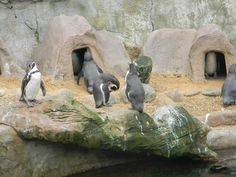 Colchester zoo Colchester Zoo, Beautiful Creatures, Penguins, Animals, Animales, Animaux, Penguin, Animal, Animais