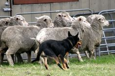 Australian Kelpie. Awesome herding dogs. Will actually run along the backs of a herd to get in front and back them up if they are stuck at an obstacle or crowding a gate.