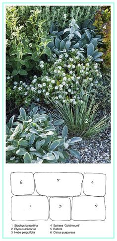 Border for Dry Soil ................................ 1. Lamb's Ear (Stachys byzantina) 2. Sand Ryegrass (Elymus arenarius) 3. Shrubby Veronica 'Pagei' (Hebe pinguifolia) 4. Japanese Spirea 'Goldmount' (Spiraea japonica) 5. Grecian Horehound (Ballota pseudodictamnus) 6. Orchid Rockrose (Cistus purpureus)