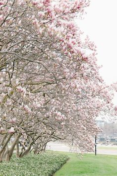 Stunning Magnolia Alley and Cherry Blossoms in Niagara Parks Cherry Blossom Tree, Blossom Trees, Visiting Niagara Falls, Canadian Winter, Two Birds, Spring Is Coming, Pathways, Mother Nature, Magnolia