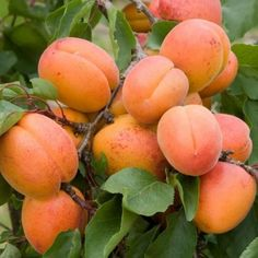 Learn how to grow a cherry tree from seeds! Perfect for USDA zones a cherry tree will keep on giving and giving! Apricot Tree, Apricot Seeds, Plum Tree, Cherry Tree, Apricot Fruit, Growing Fruit Trees, Growing Tree, Pink Fruit, Prunus