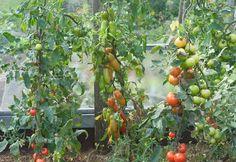 Gartenzauber | Tipps für eine gelungene Tomatenernte - Gartenzauber