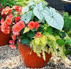 Shade Container: White caladium, Rita's Gold fern, Ivy and salmon non-stop Begonia