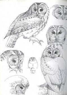Owls of the Northern Hemisphere Madame Mondlicht Bird Pencil Drawing, Pencil Art Drawings, Bird Drawings, Animal Drawings, Drawing Art, Owl Art, Bird Art, Animal Sketches, Art Sketches