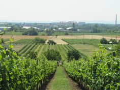 The vineyards and the Government Refugee Housing in the background Vineyard, Places, House, Outdoor, Outdoors, Home, Vine Yard, Vineyard Vines, Outdoor Games