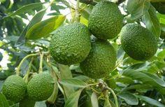Afectará el cambio climático cultivos de maíz, frijol, café y aguacate