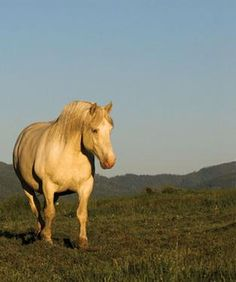 Saving an American Original - Montana breeder brings back a forgotten variety of draft horse-American cream draft horse Big Horses, Horses And Dogs, Horse Love, Draft Horse Breeds, Draft Horses, All The Pretty Horses, Beautiful Horses, Suffolk Punch, Clydesdale
