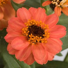 Profusion Deep Apricot Zinnia plants with deep apricot-orange flowers.