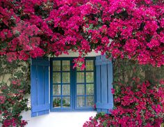 Bougainvillea and Blue Window - Vern Clevenger Photography Bougainvillea Trellis, Blue Shutters, Outdoor Flowers, White Walls, Porches, Beautiful Flowers, Backyard, Windows, Climbing Roses
