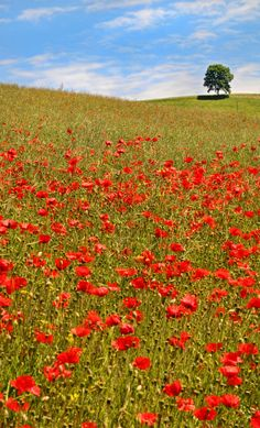 Red poppy field - reminds me of a when mom my girls and I went to France
