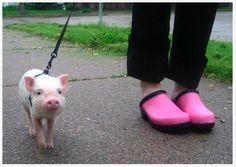 This little piggy went ...