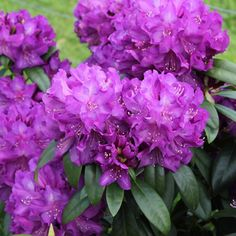 Plant   Rhododendron, Largeleaf, Purple Passion